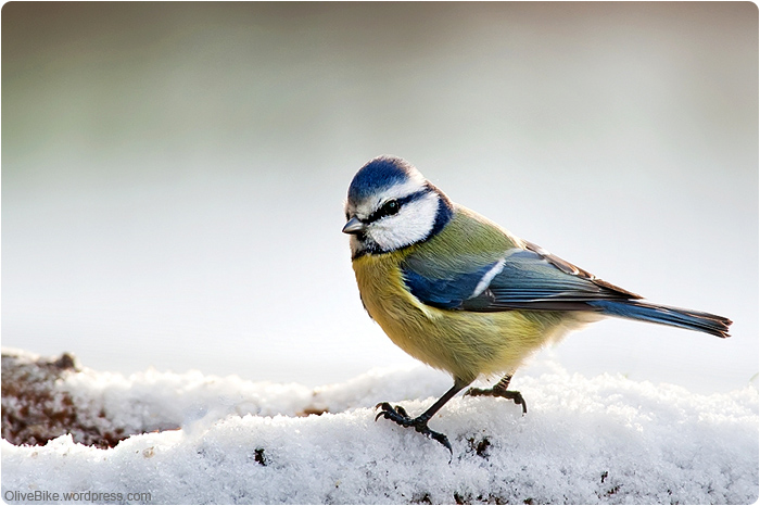 Blue Tit in morning light by Greyhorse 01