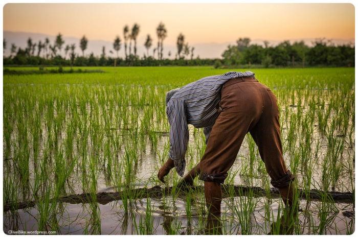 a farmer working in paddy field